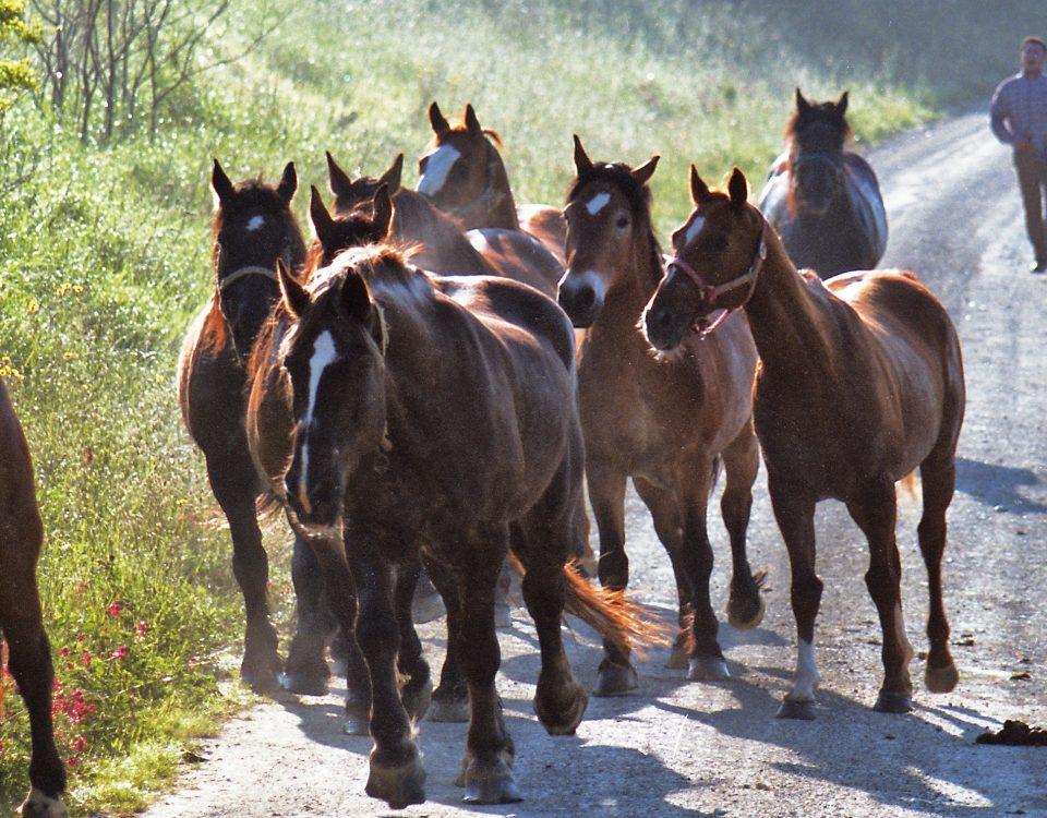 Horses In San Gimignano 1996